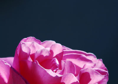 CourtinCom-photographie d'une rose