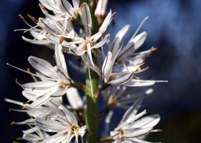 CourtinCom-photographie fleur blanche