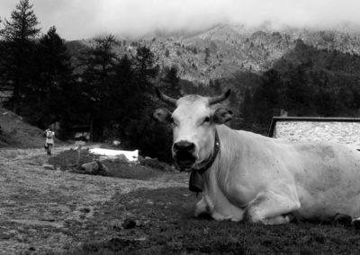 Photographie-Vache dans le mercantour