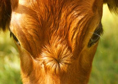 Photographie-portrait d'une vache