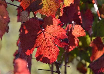 Reportage photographique-Vignoble Perras-Couleur des feuilles d'automne