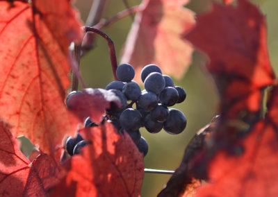 Reportage photographique-Vignoble Perras-La vigne en automne