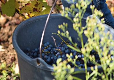 Reportage photographique-Vignoble Perras-recolte du raisin