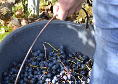 Reportage photographique-Vignoble Perras-recolte du raisin1