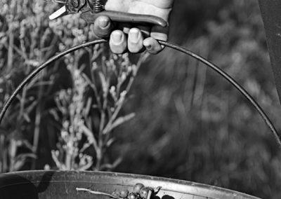 Reportage photographique-Vignoble Perras-recolte du raisin2