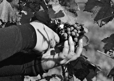 Reportage photographique-Vignoble Perras-taille de la vigne